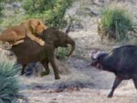 Bawoły ratują słonia przed lwami
