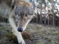 Niesamowite ujęcie wilków.
