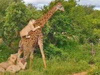 Żyrafa zabiera lwy na przejażdżkę
