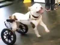 Sparaliżowany psiak dostaje psi wózek inwalidzki