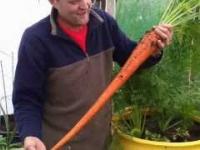 Wyhodował gigantyczne marchewki w beczce
