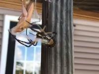 A dużego pająka karmię tak