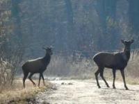 Chmara jeleni plus niespodzianka