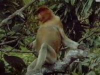 Program drugi - fragment programu przyrodniczego o nosaczach sundajskich z 1997