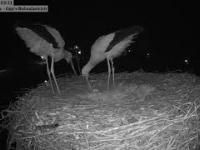 Radość w bocianiej rodzinie, czyli pojawienie się pierwszego jaja w gnieździe