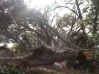 Drzewo mści się nawet po jego ścięciu