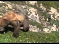 Niedźwiedź grizzly ma atak serca