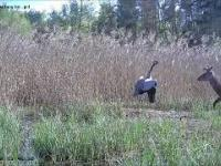 Żuraw broni gniazda przed jeleniem, który chce pożreć żywą zawartość