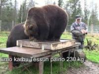 Ważenie niedźwiedzi