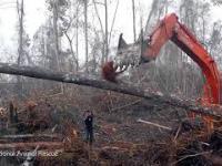 Orangutan próbujący walczyć z buldożerem niszczącym jego dom