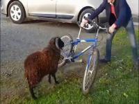 Baranowi coś się ten rowerzysta nie spodobał