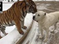 Tygrys i Owczarek środkowoazjatycki