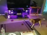 Pies udoskonala swój podbieg przed skokiem na kanapę