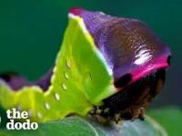 Jak gąsienica zmienia się w puchatą ćmę
