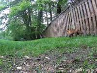Mała wiewiórka zostaje zaatakowana przez lisa w ogrodzie