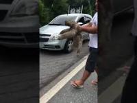 Mężczyzna pomaga leniwcowi przechodzić przez ulicę i umieszcza go na drzewie
