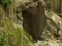 Pszczoły tworzą falę, żeby odpędzić szerszenie!