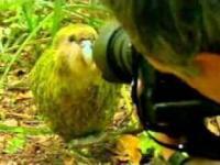 Najdziwniejsza papuga na świecie