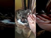 Ptaszek karmi swoje pisklęta