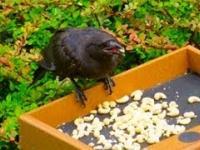 Dziewczynka latami karmiła wrony. To jak jej się odwdzięczyły jest niesamowite