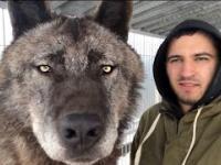 Rosyjski wilk z bliskiej perspektywy