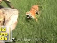 Jak wysoko potrafi wyskoczyć tygrys