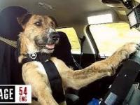 Powolny objazd miasta z psem za kółkiem