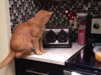 Kot zostaje powalony przez toster