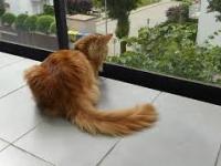 Automat animalny do zamiatania balkonu czyli ogon kota rasy Maine Coon w akcji