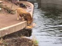 Nieuważny lew wpada do wody