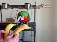 Przez banany giną orangutany. Ostatnie 2 banany.