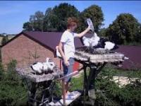 Szansa dla bociana - Pojenie i schładzanie młodych bocianów