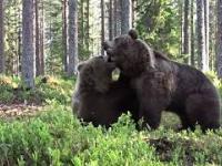 Piękne ujęcie dwóch walczących ze sobą niedźwiedzi brunatnych