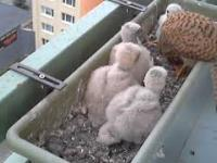 Pustułkowa rodzina żyjąca sobie na balkonie - Pora karmienia młodych