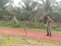 Malezyjski żołnierz chwyta kobrę w nietypowy sposób