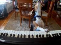 Pies gra na pianinie i spiewa.