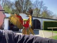 Wolne loty. Przygotowania papugi ary Lucy do wolnych lotów.