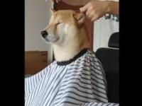 Pan Pieseł z wizytą u fryzjera