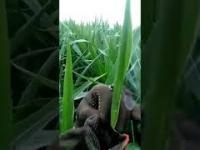 Szybko lecąca ważka przebiła głową liść kukurydzy i została w nim uwięziona.