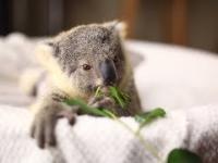 Urocze koale i ich nie mniej urocza opiekunka