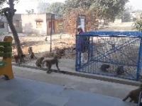 Jak się łapie małpy w Indiach