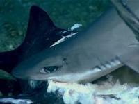Rekin połknięty w całości