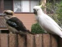 Kakadu drażni Kookaburrę