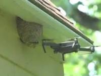 Usuwanie gniazda szerszeni za pomocą drona