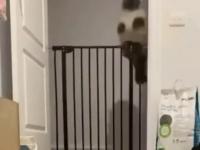 Koci dostojnik w przeskakiwaniu bramki