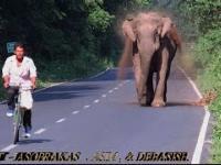 Słoń zabezpiecza drogę, dopóki jego rodzina nie minie ją bezpiecznie