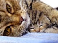 Mama kot rozmawia ze swoimi ślicznymi miauczącymi kociętami