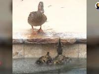 Kaczuszki utknęły w basenie