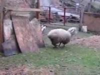 Owca bawiąca się z psem