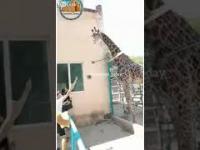 Pijany jeździł sobie na żyrafie